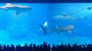 美ら海水族館-「黒潮の海」大水槽