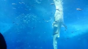 美ら海水族館-立つジンベエザメ