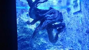 美ら海水族館-タコ