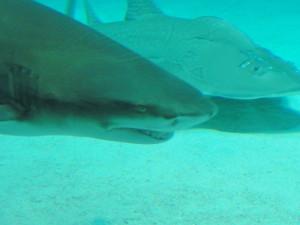 美ら海水族館-サメ