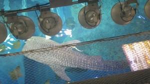 美ら海水族館-上から見たジンベエザメ