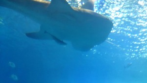 美ら海水族館-ジンベエザメに付くコバンザメ