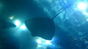 美ら海水族館-下からみたナンヨウマンタ