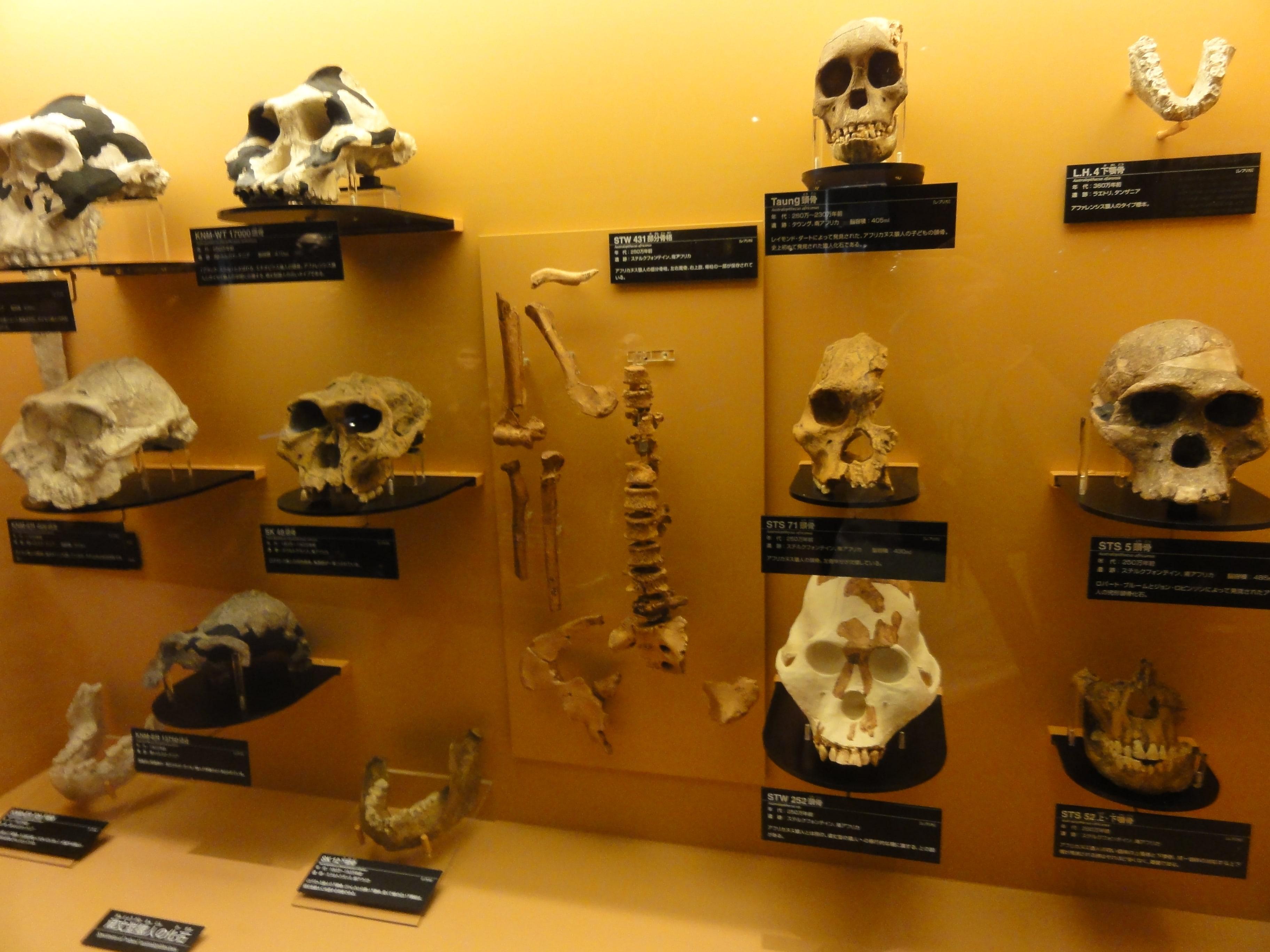 人類の頭蓋骨