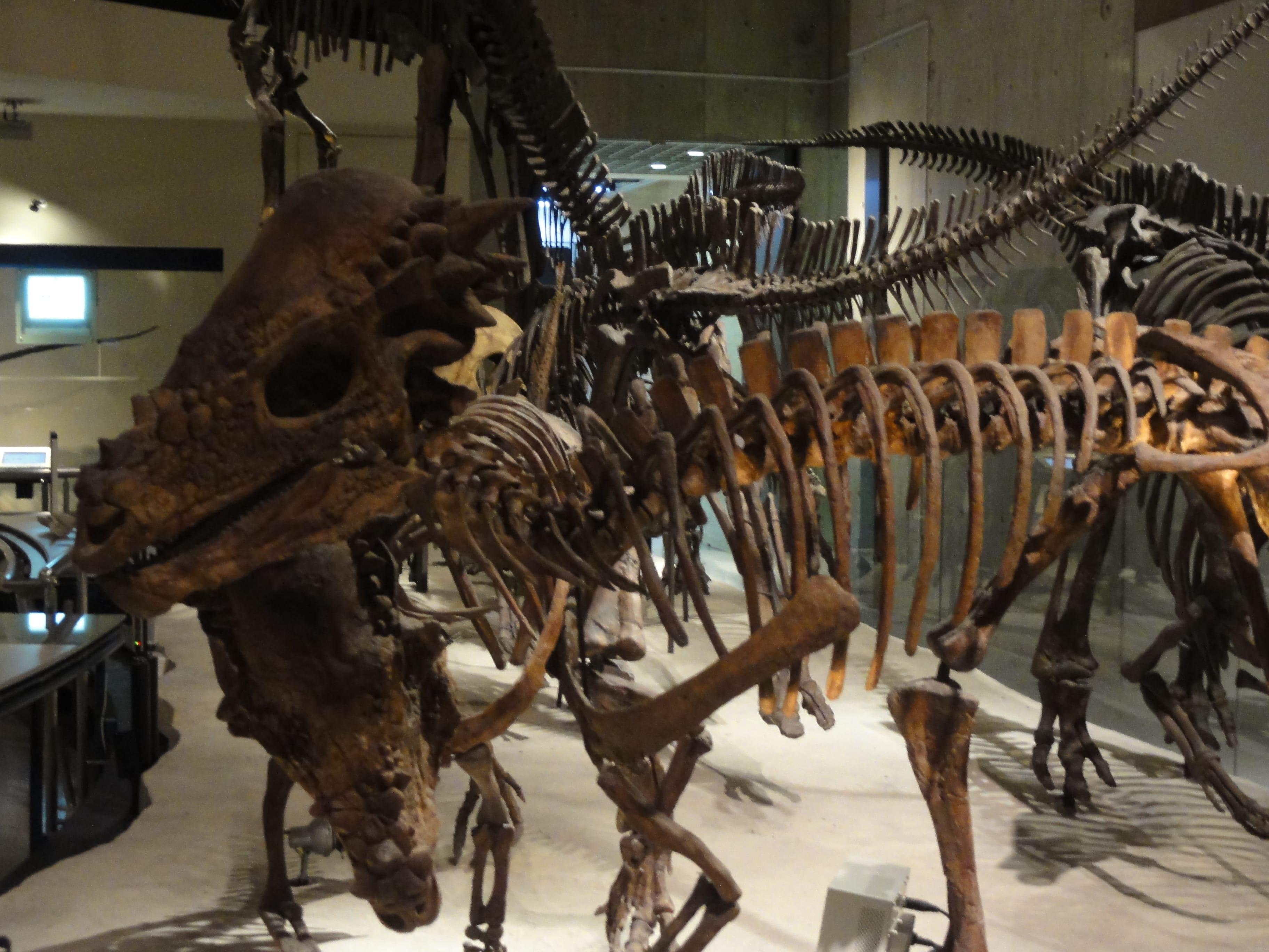 パキケファロサウルス?の骨格標本