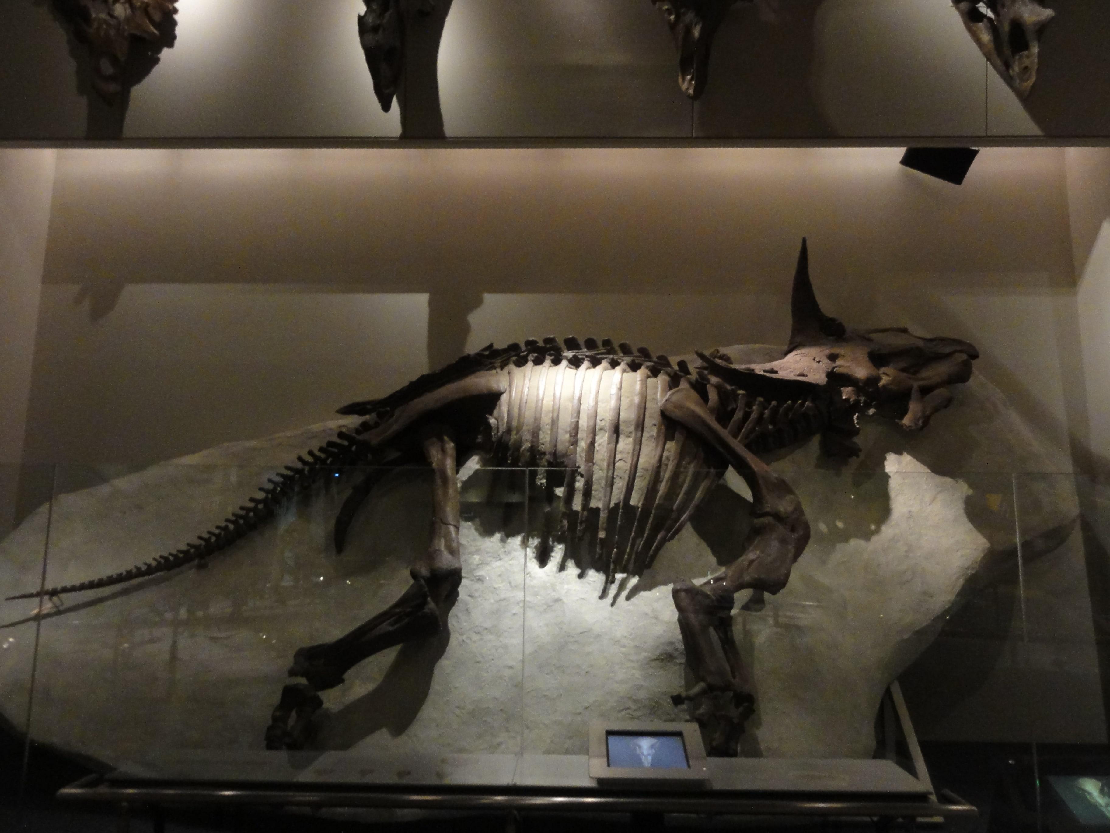 トリケラトプスの骨格標本