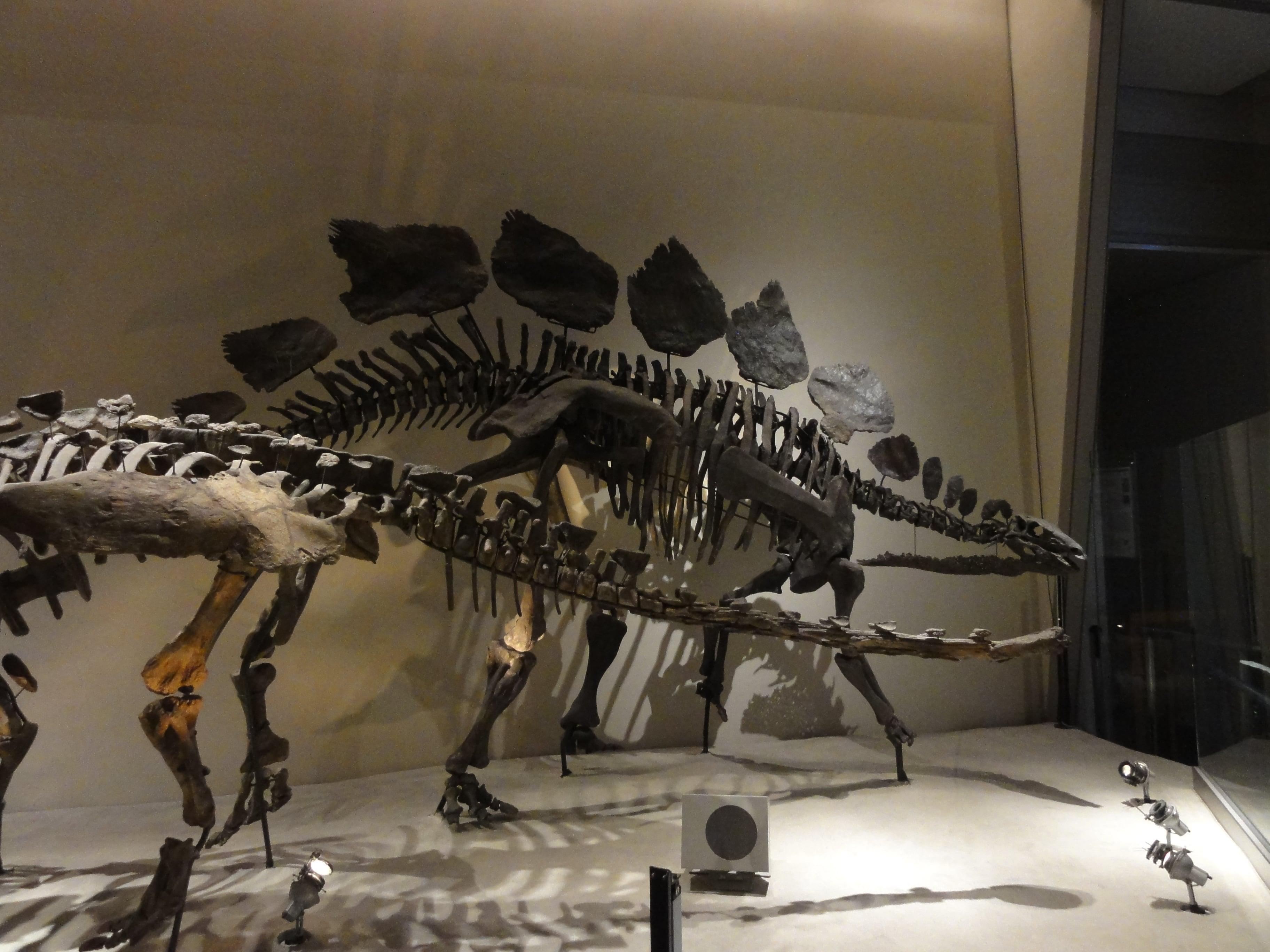 ステゴサウルスの骨格標本