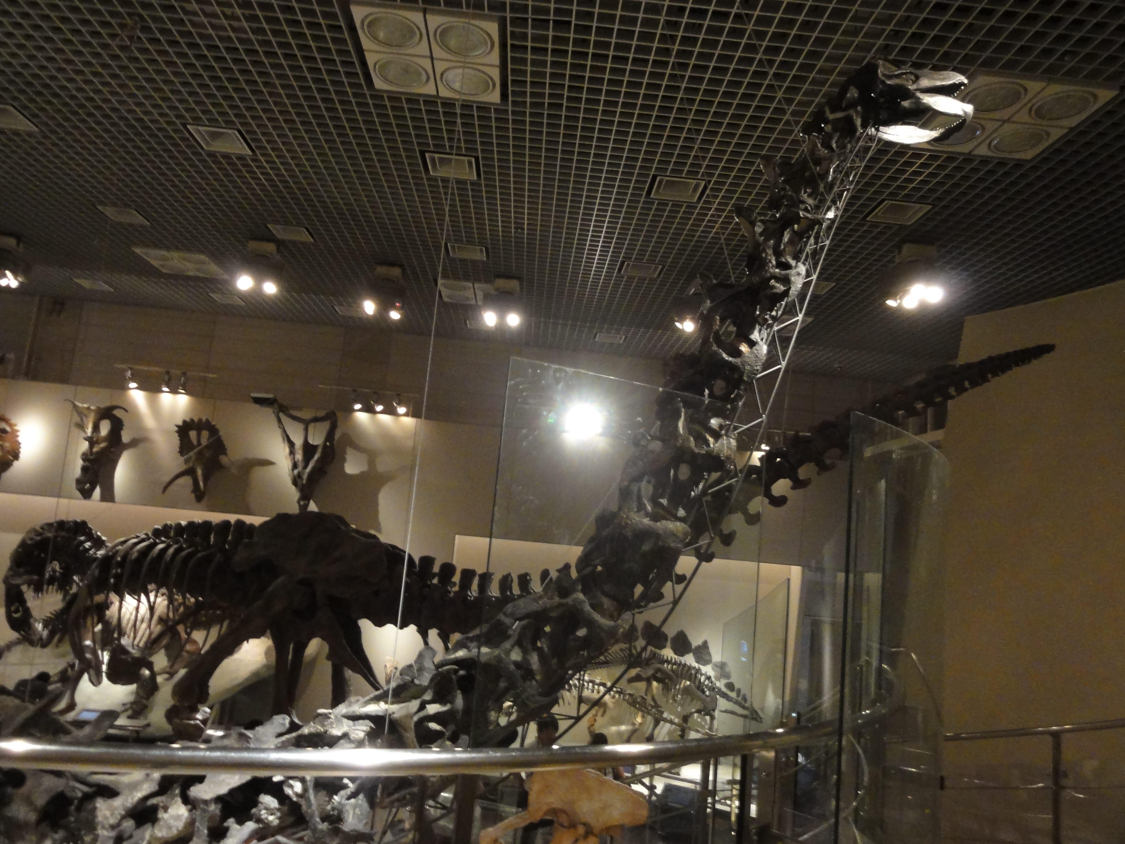 アパトサウルス?の骨格標本