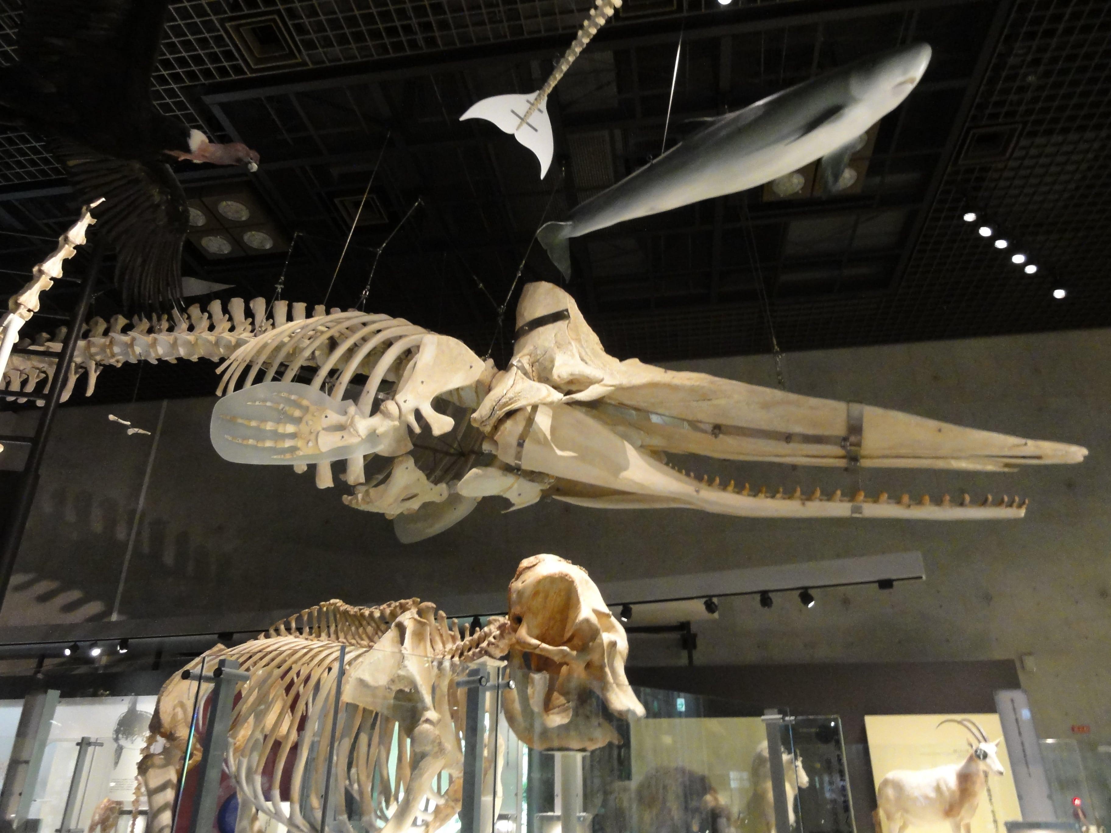 クジラ?の骨格標本
