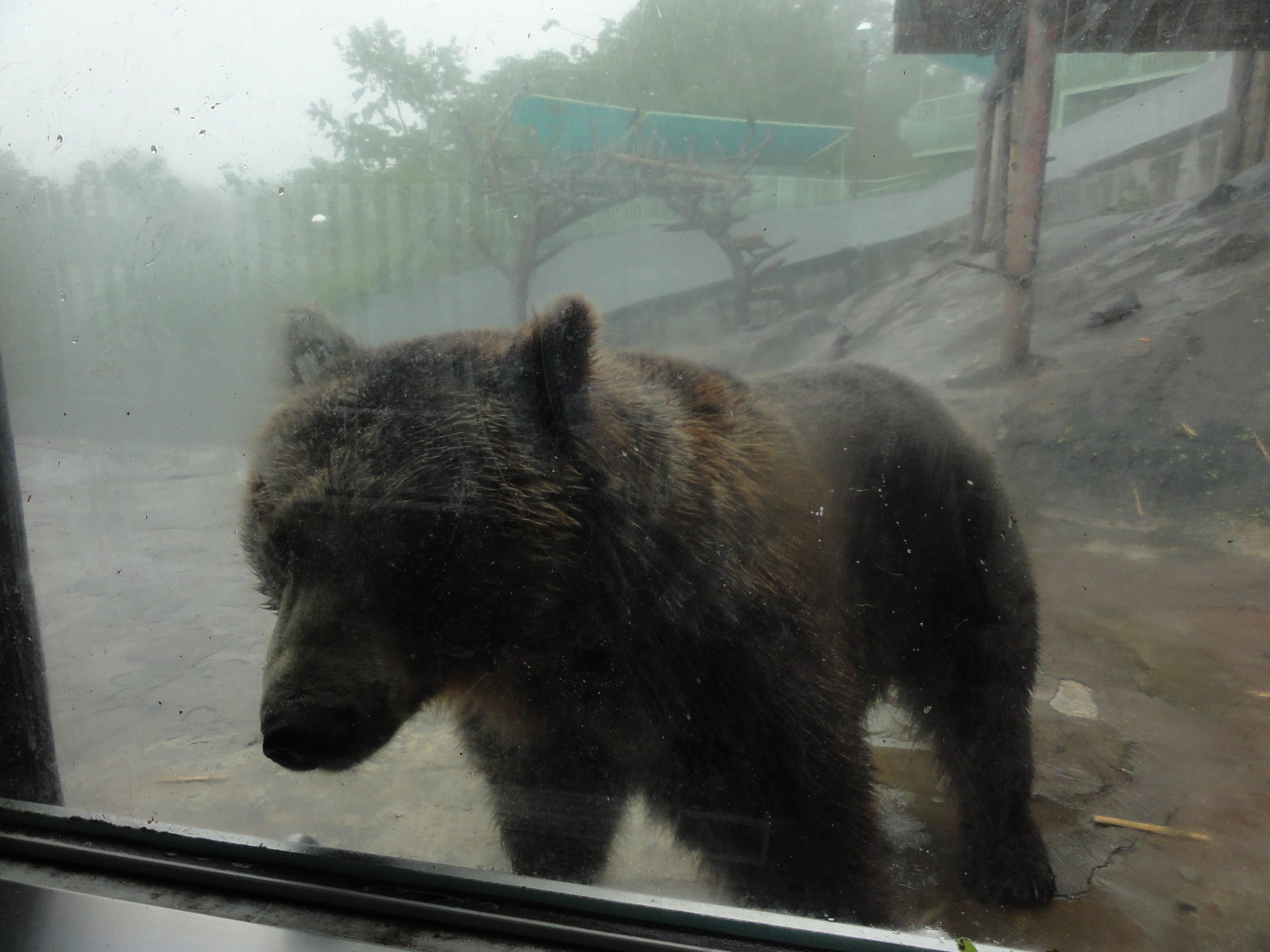 のぼりべつクマ牧場のヒグマ