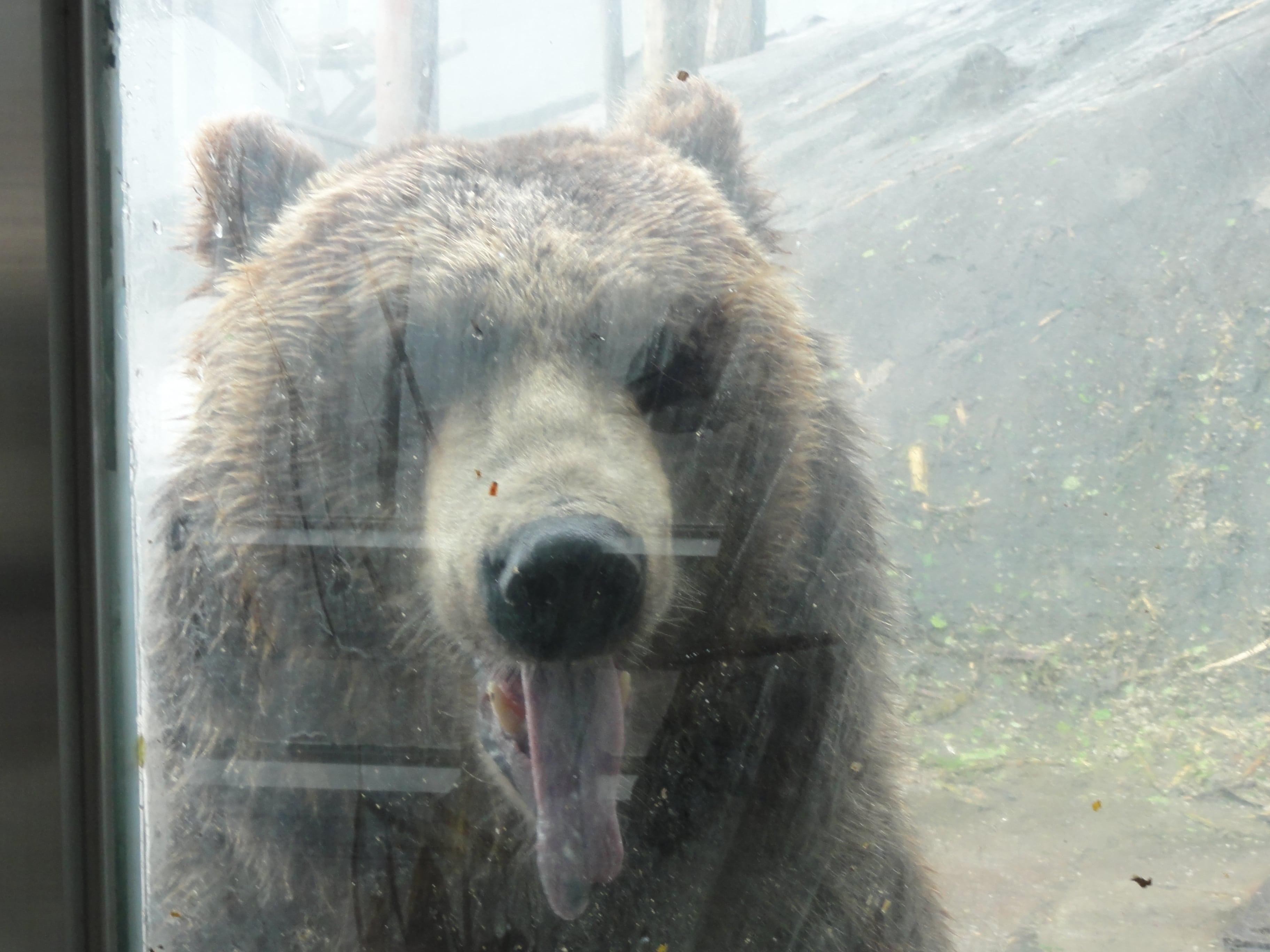 のぼりべつクマ牧場のヒグマ2