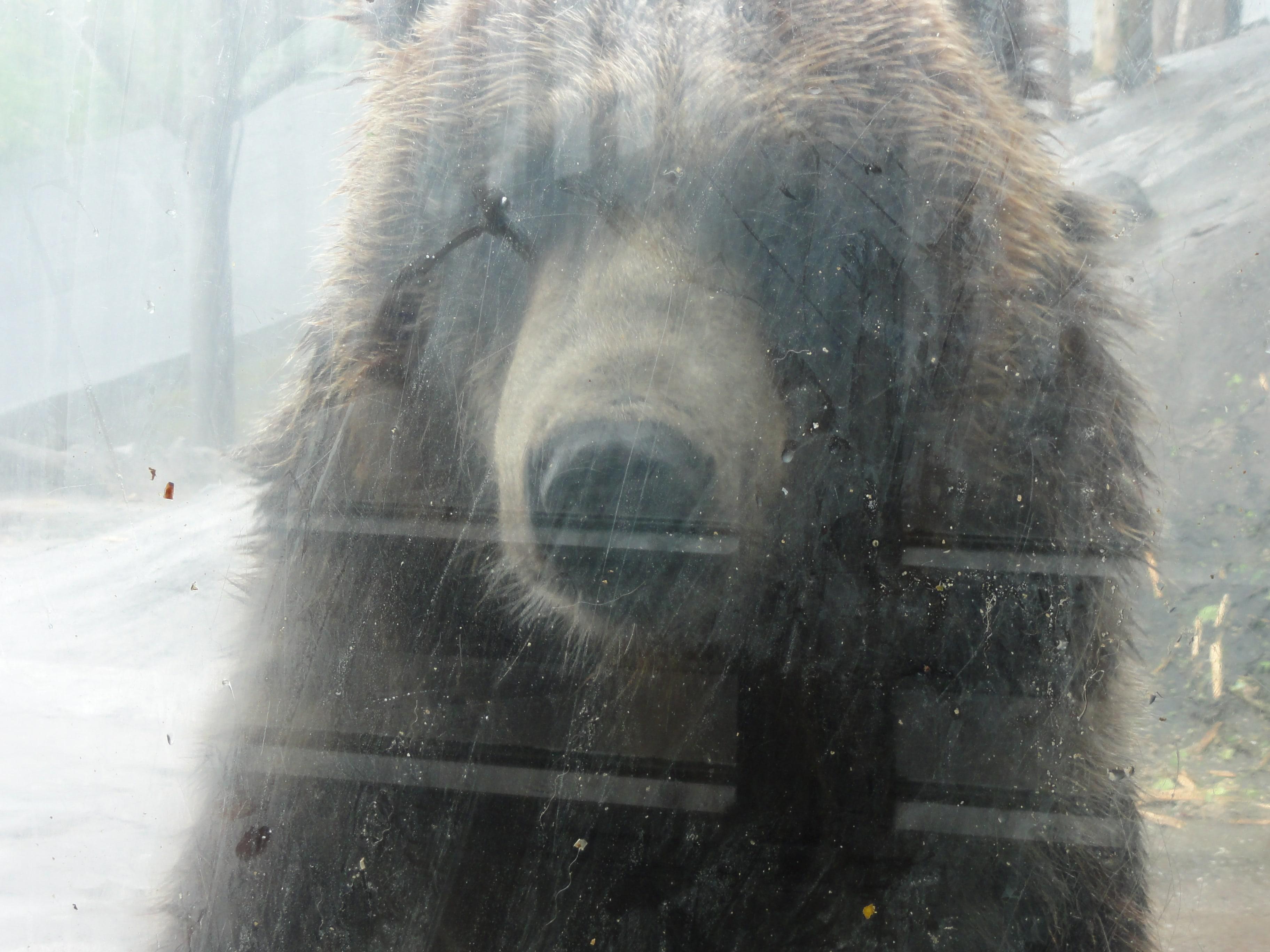 のぼりべつクマ牧場のヒグマ3