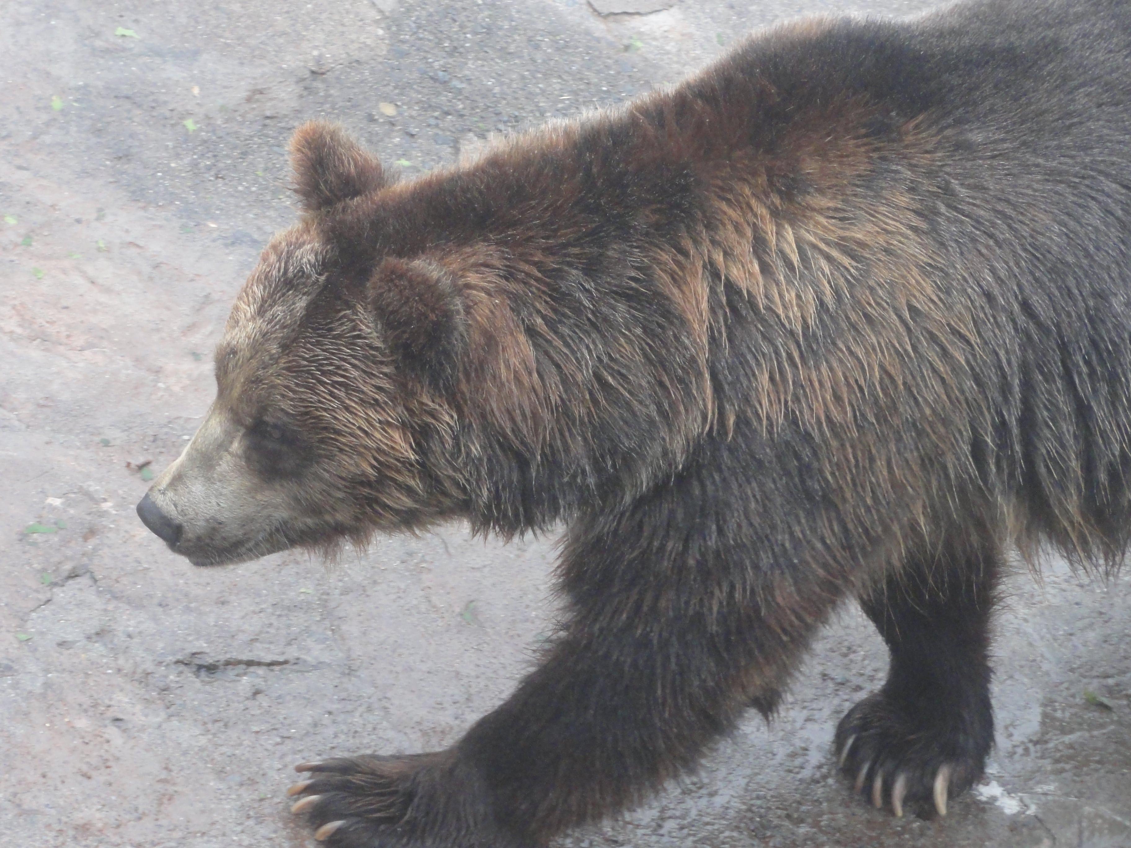 のぼりべつクマ牧場のヒグマ4