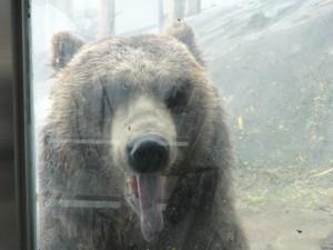 登別クマ牧場のヒグマ