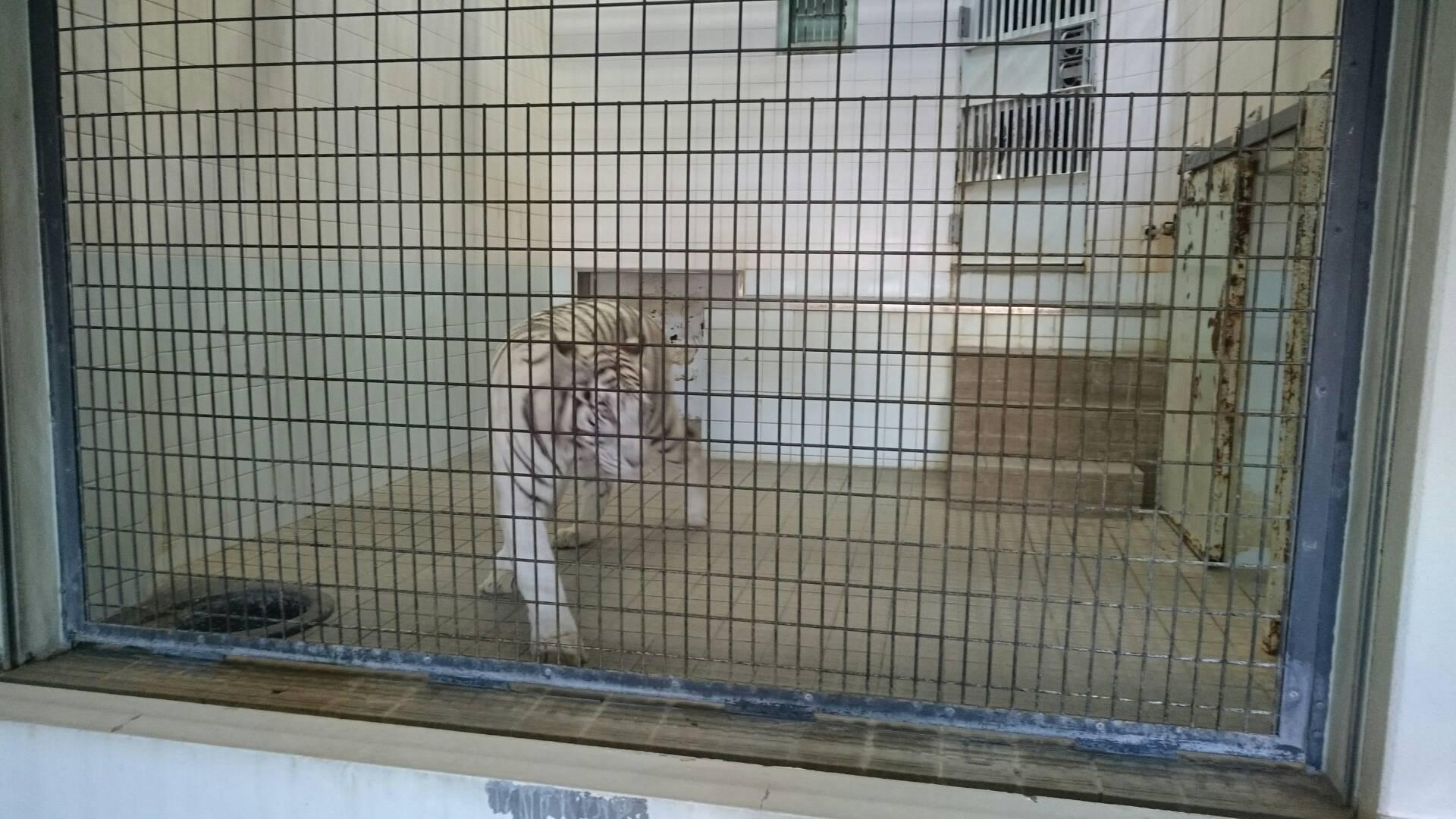 愛媛県立とべ動物園のトラ
