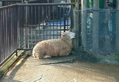 愛媛県立とべ動物園の羊2
