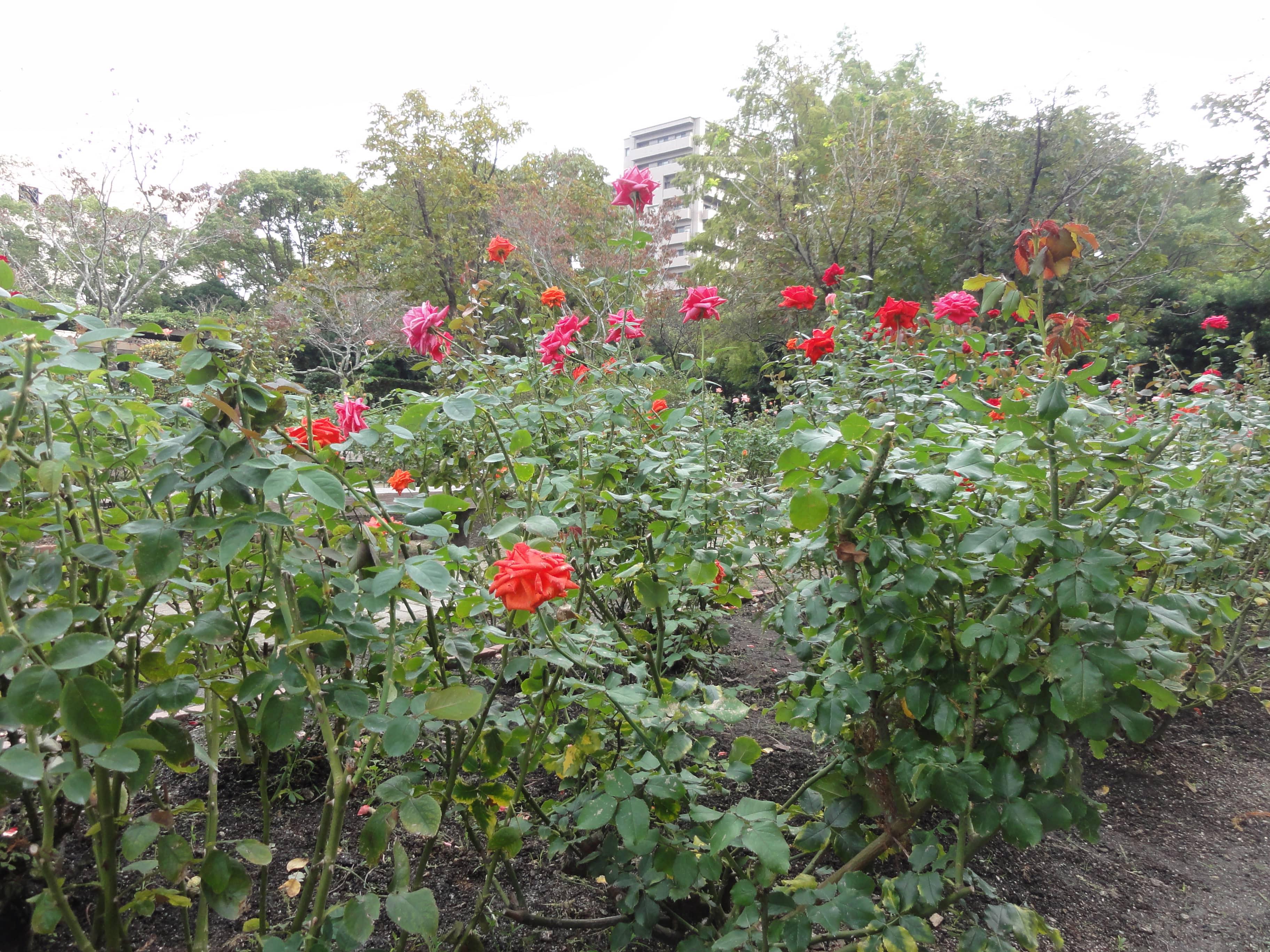 バラが咲く