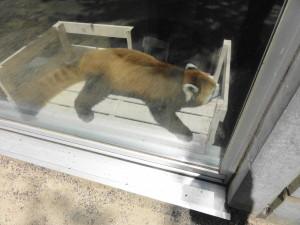 とくしま動物園-レッサーパンダ