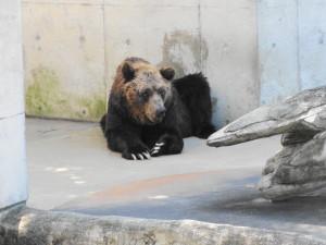 とくしま動物園-寂しげなヒグマ