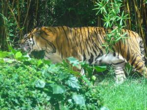 とくしま動物園-トラ
