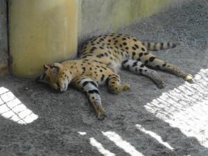 とくしま動物園-サーバルキャット