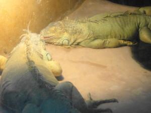 とくしま動物園-イグアナ