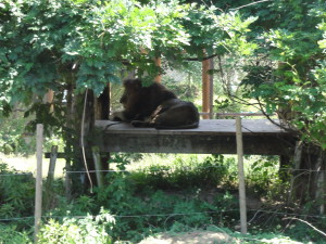 とくしま動物園-ライオン