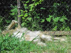 とくしま動物園-寝てるオオカミのコウゲツ
