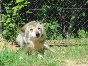 とくしま動物園-起きたオオカミのコウゲツ