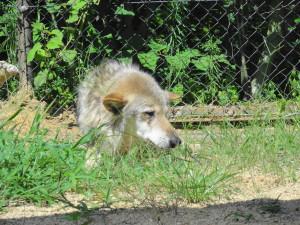 とくしま動物園-犬のようなオオカミのコウゲツ