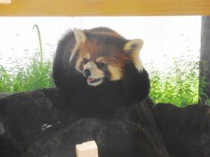 とくしま動物園-怖いレッサーパンダ