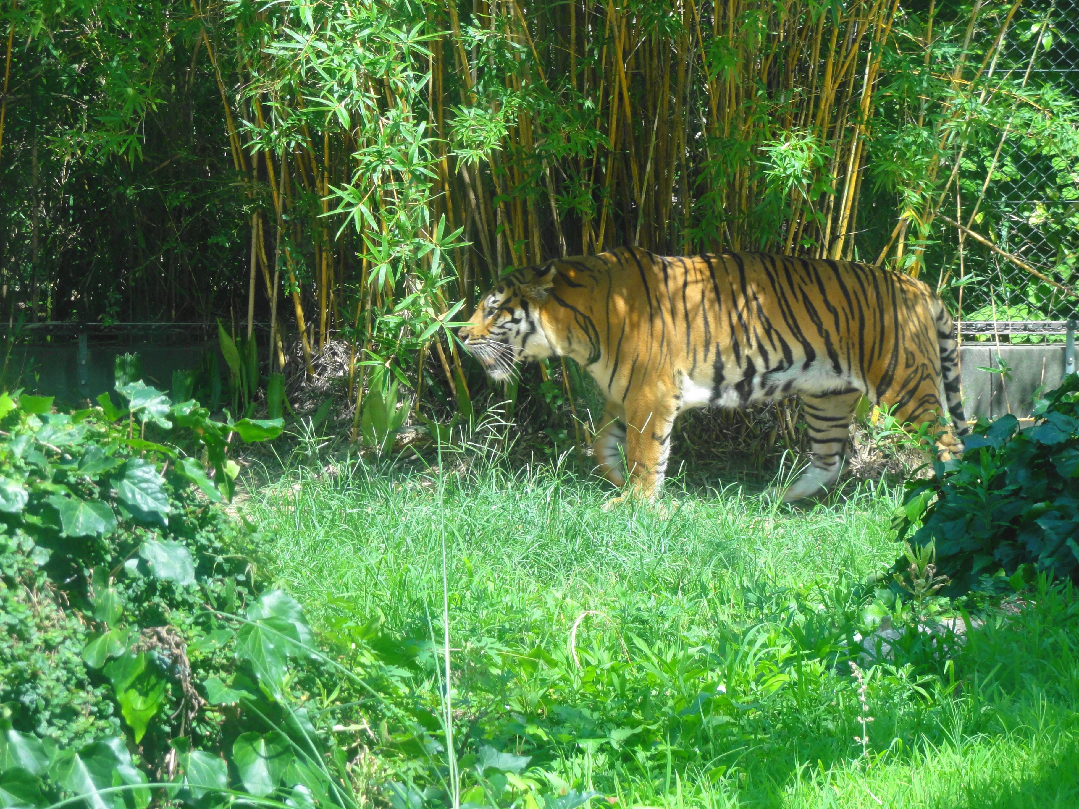 とくしま動物園-トラ全体